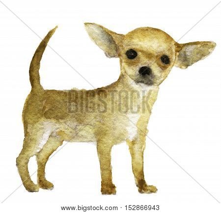 watercolor sketch of chihuahua dog on white background