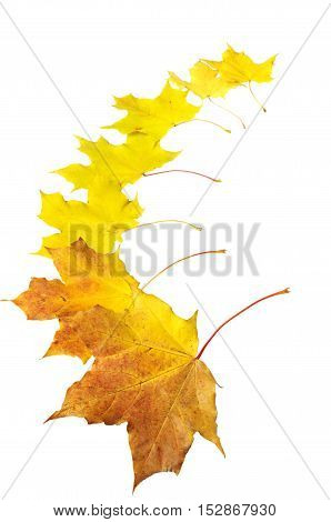 Background with autumn maple leaves. Isolated object