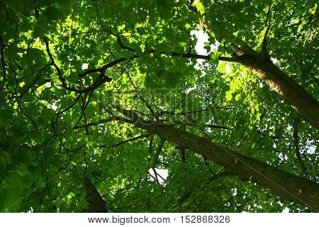Big tree with canopy of green leaves and sun shining through