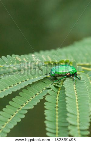 Dindigul India - October 22 2013: Closeup of Indian Jewel beetle or Ponvandu. The insect with its shiny green coat sits on green leaves.