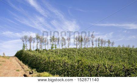 Pear Plantation Against Blue Sky