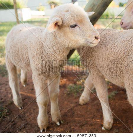 Newly Born Lamb In Pen
