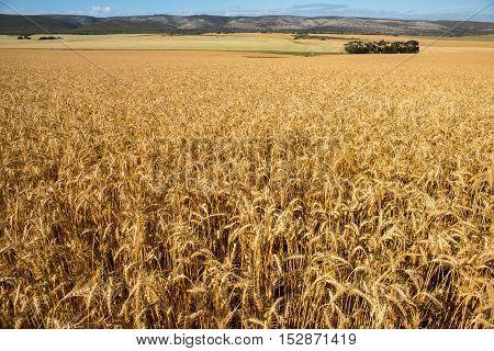 Wheat Fields On Farm Land