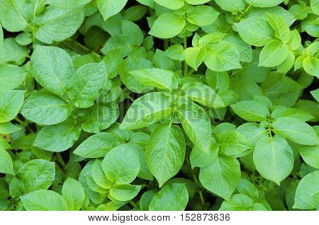 Background from the leaves of the tops of growing potatoes.