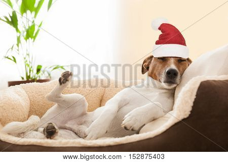 Siesta Dog At Christmas Holidays