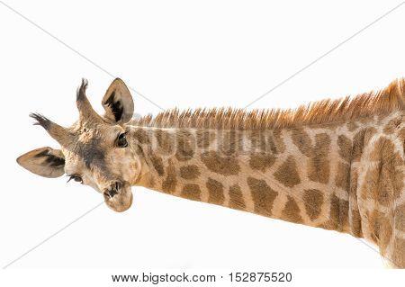 Giraffe Lowering Head And Neck Horizontal Isolated