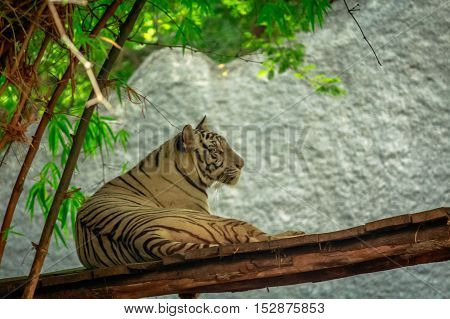 wonderful white tiger in Indian zoo  sitting with pride