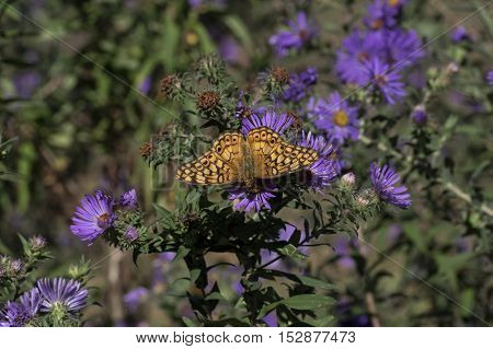 Variegated Fritillary on flowering New England aster. Variegated Fritillary is a North and South American butterfly in the family Nymphalidae. New England aster is a flowering herbaceous perennial plant in the Asteraceae family.