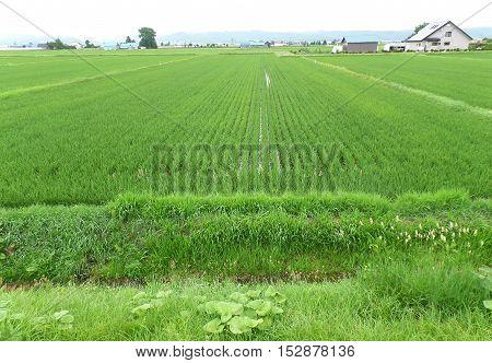 Bright Green Paddy Field in a small village, Hokkaido, Japan