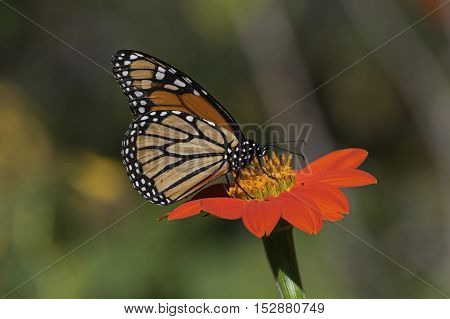Monarch Butterfly on Mexican Sunflower. It is a milkweed butterfly in the family Nymphalidae.  Tithonia diversifolia is a species of flowering plant in the Asteraceae family that is commonly known as the Mexican sunflower.