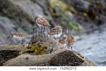 A group of five Western Sandpipers pearched on a rock by the sea one with a drop of water dripping from its beak.