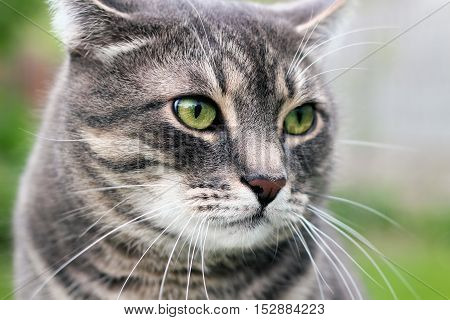Beautiful gray relaxing elegant cat. Green background behind.