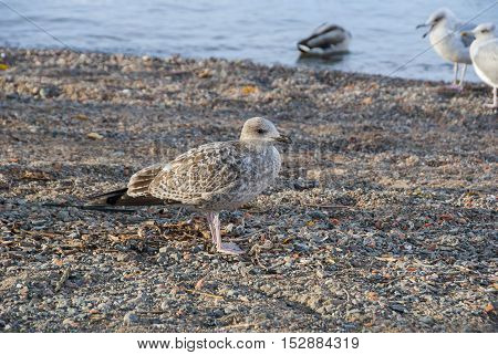 Young seagull on the beach by the sea