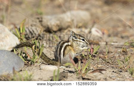 Least chipmunk on dirt with grass and rocks