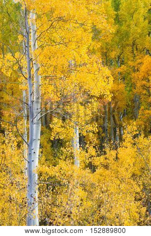 Fall colors of yellow and gold bursting from an Aspen grove
