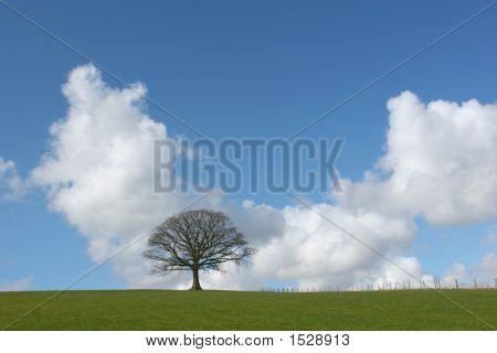 Solitary Winter Oak