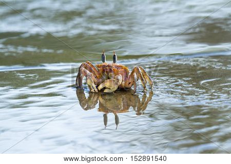 Horned Ghost Crab