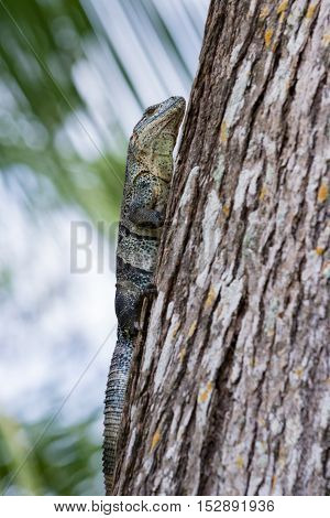 Spiny Tail Iguana - Ctenosaur