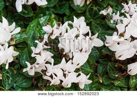 White Flowers Of Cyclamen