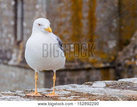 White seagull burd standing on a stone surface of a wall