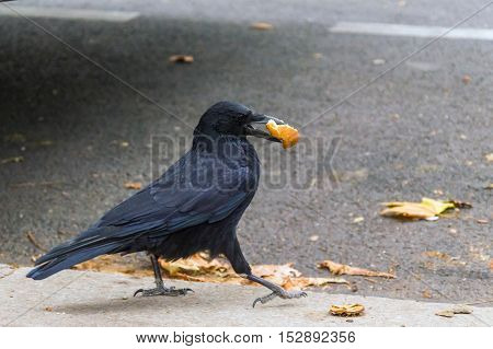 Jackdaw With Scrap Of Bread In Beak