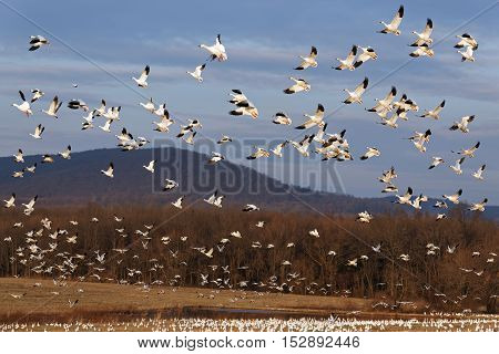 Thousands of migrating Snow Geese ( Chen caerulescens ) fly over after a layover in Lancaster County Pennsylvania USA.