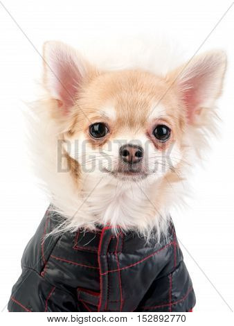 Chihuahua dog dressed in black jacket portrait close-up on white background