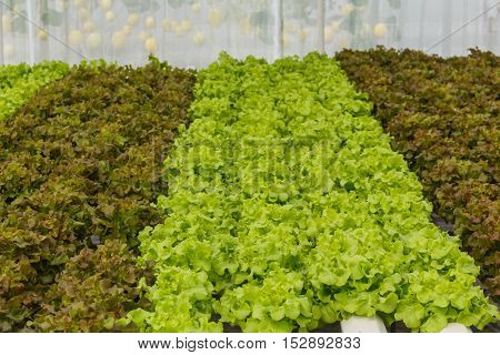 Growing organic vegetables with out soil in farm