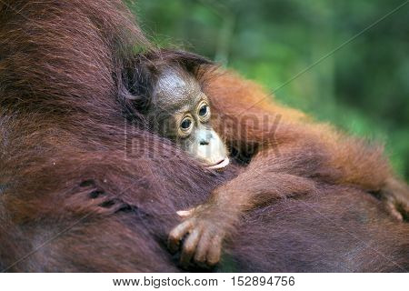 Cute baby orang-utan cuddling its mother in their native habitat. Rainforest of Borneo.