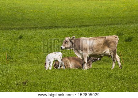 Close up view of two friends and a calf in meadow green