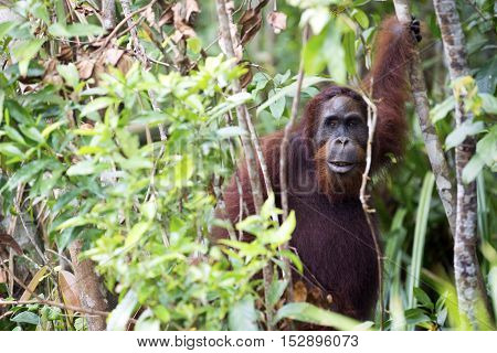 An orang-utan in its native habitat. Rainforest of Borneo.