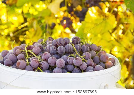 Beautiful pink ripe grapes, the harvest is collected in a plastic bucket