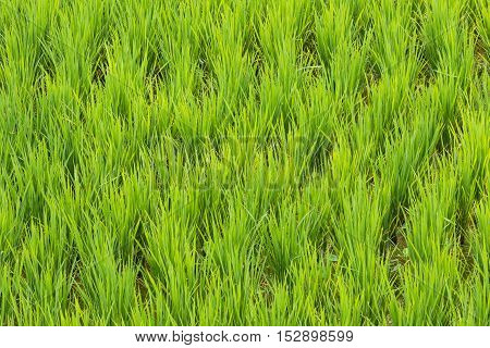 Rice growing in a terraced paddy in Jatiluwih, in Bali, Indonesia.