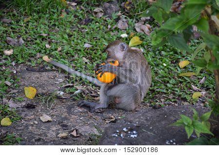 Baby monkey eating an orange outside Batu caves shrine, Selangor, Malaysia