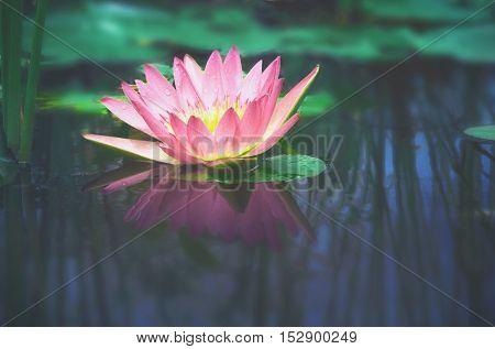 beautiful color pink  lotus flower in pond