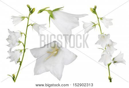 set of large bellflowers isolated on white background