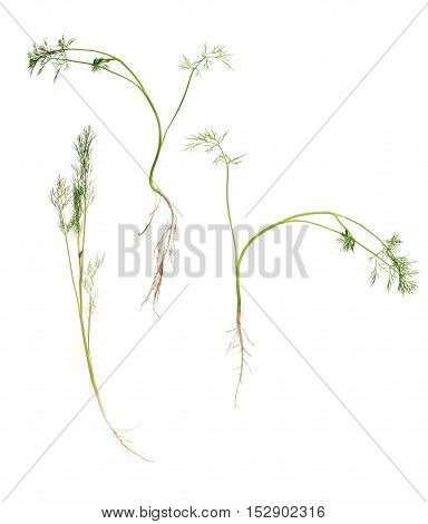 green dill plants isolated on white background