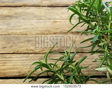 Young bush of fragrant rosemary. Planted in early autumn.
