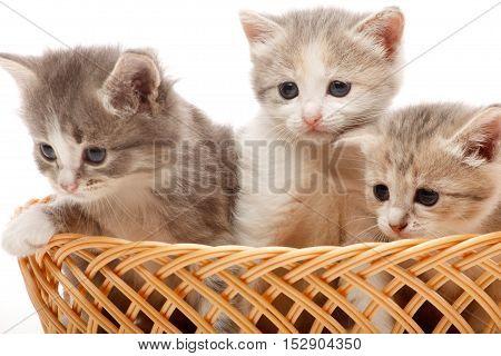 Three little kitten in the wicker studio shoot