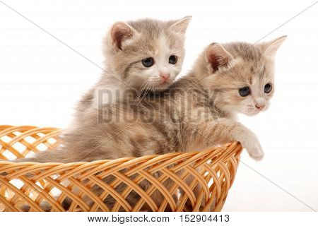 Two 1 month old kittens in the wicker