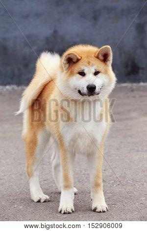 dog breed Akita Inu is walking on open air