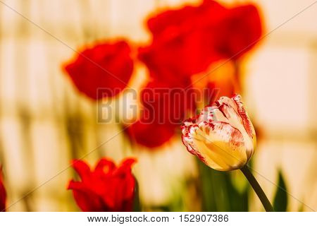 Tulip flower with a white flowering bud in flower bed on the background other red flowers. Copy space