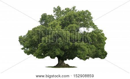 Rain large tree (Albizia saman) tropical tree in the northeast of Thailand isolated on white background