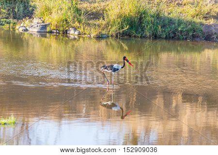 Saddle-billed Stork Hunting In The Water. Kruger National Park, Famous Travel Destination In South A