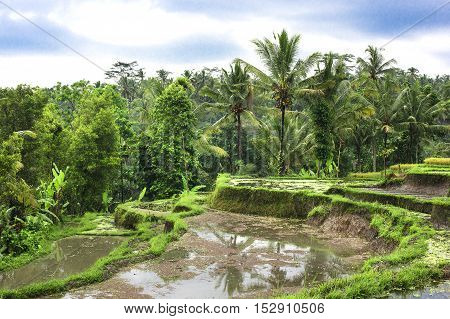 Rice fields on terraced of Thailand, Vietnam or Bali