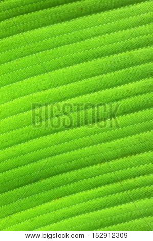 Background from a detailed green banana leaf.