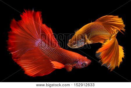 Betta Fish In Freedom Action