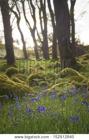 Bluebells surrounded by moss lit up by morning sun