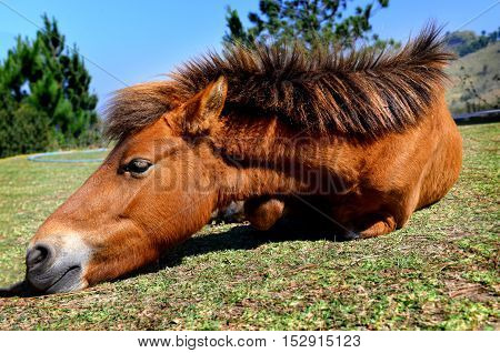 Small Pony Thai Horse