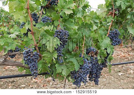 Grape vines with black grapes. Vineyard. Crimea Russia.